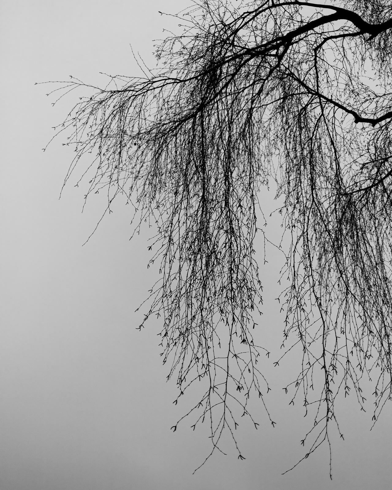 Birkenzweige