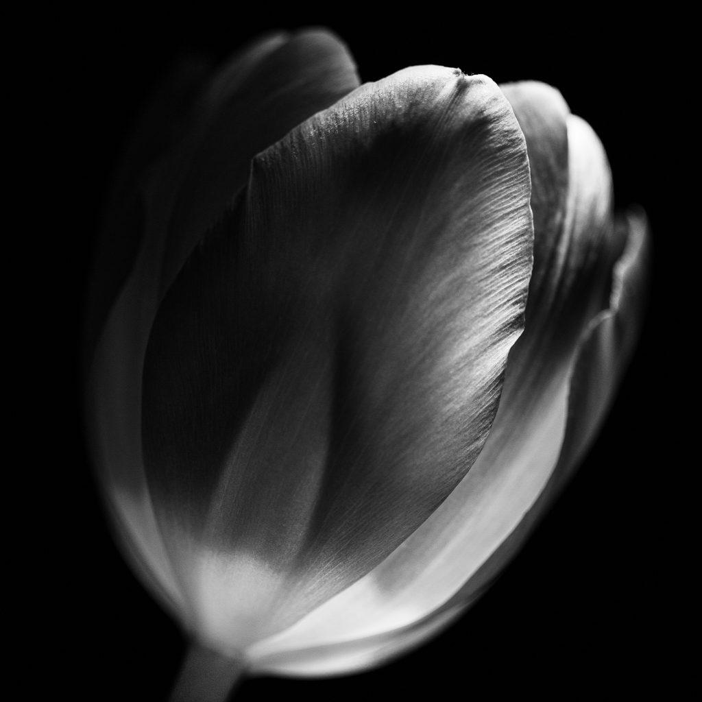 Tulpe (schwarzweiß)