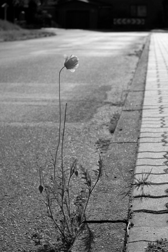 Einzelne Mohnblume am Straßenrand